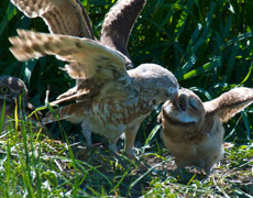 Burrowing owls (Photo by Don Dabbs)
